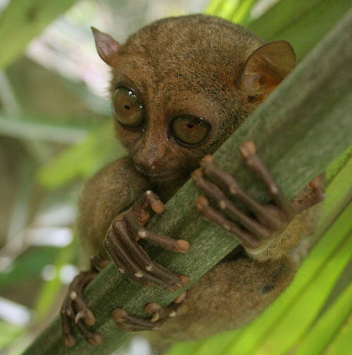 Tarsier gripping a branch