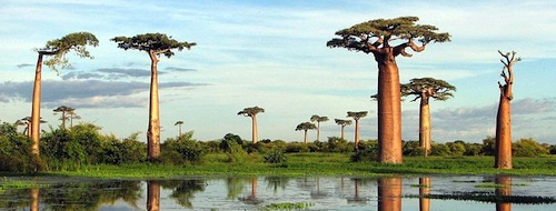 The Baobab tree - One Weirdass Tree