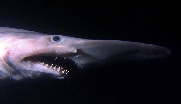 Weirdass Animals: The Goblin Shark looks like a thing of nightmares